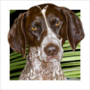 german shorthaired pointer dog art and dog headshots, german shorthaired pointer dog pop art prints, dog paintings, dog portraits, dog headshots and pet prints in colorful original dog art and fine art dog prints by artists Jane Billman and Gregg Billman